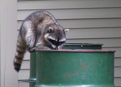 animal, raccoon, mustelidae, mammal, fauna, viverridae,