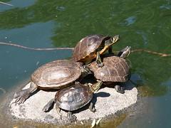 animal, turtle, reptile, marine biology, fauna, emydidae, wildlife, tortoise,