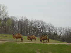 Shaggy MN Camels