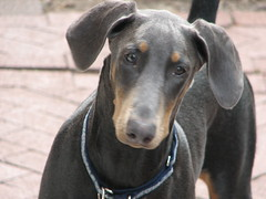 dog breed, animal, dog, german pinscher, manchester terrier, dobermann, pet, guard dog, pinscher, toy manchester terrier, austrian black and tan hound, patterdale terrier, carnivoran,