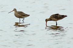 animal, water bird, charadriiformes, fauna, redshank, sandpiper, beak, bird, wildlife,