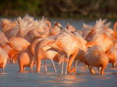 Pink Flamingos in the Yucatan, Mexico