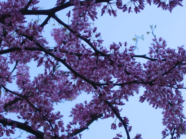 lavender tree flickr photo sharing