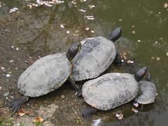 animal, turtle, reptile, fauna, emydidae, wildlife,