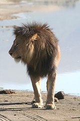 Lion in morning sun