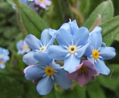 shrub, flower, plant, macro photography, herb, wildflower, flora, forget-me-not,