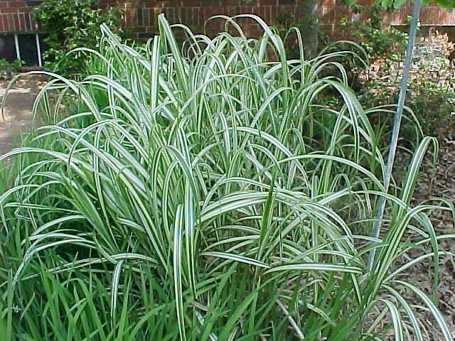 Variegated Ornamental Grass | Garden Guides