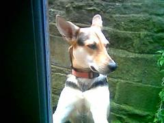 dog breed, animal, hound, dog, pet, ibizan hound, carnivoran, terrier,