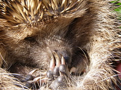 hedgehog(0.0), rodent(0.0), echidna(1.0), animal(1.0), monotreme(1.0), erinaceidae(1.0), fauna(1.0), close-up(1.0), whiskers(1.0),