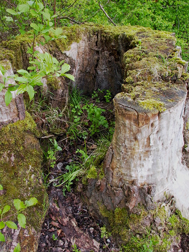 Hollow tree stump for Hollow tree trunk ideas