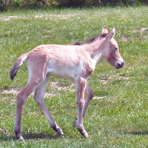 Przewalski's wild horse 3dayold foal