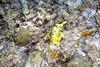 Frog Fish, Pescador Island