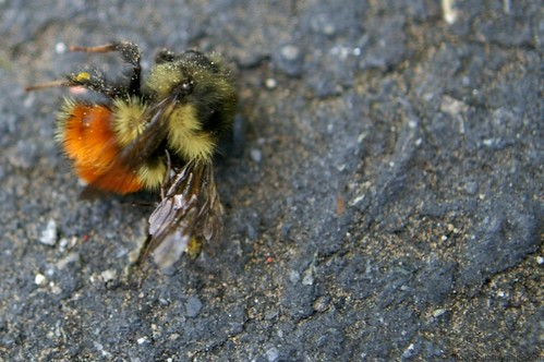 Dead Bee on his Way to the Colony