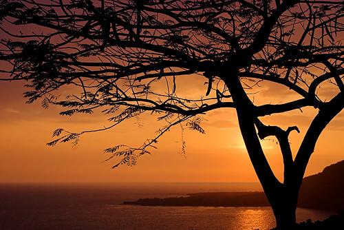 sunset tree silhouette hawaii quality bigisland delonixregia kona royalpoinciana kaawaloa 22378