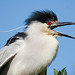 Black-crowned Night Heron by Bill Walker