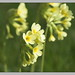 Oxlip - Photo (c) Dirk Heuer, some rights reserved (CC BY-NC-ND)