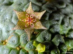 Larryleachia marlothii flower macro