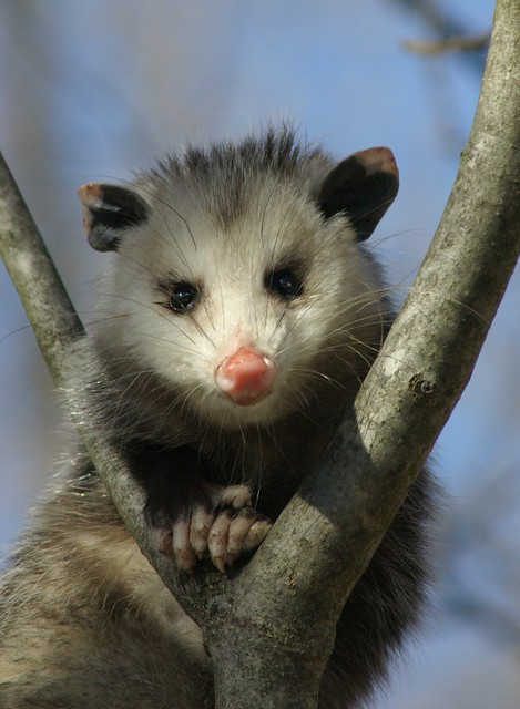 Opossum Native To Possum | Flickr...