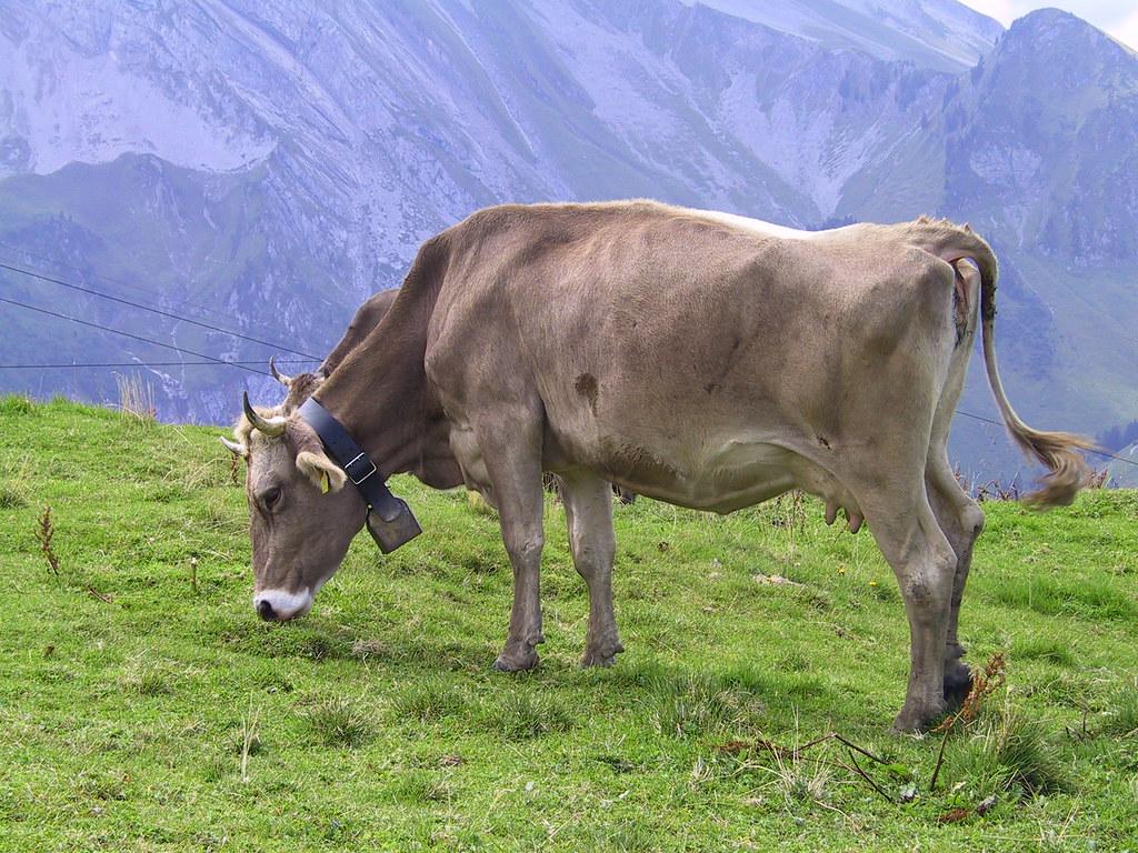 Cow in Niederbauen