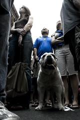 Bulldog and blue