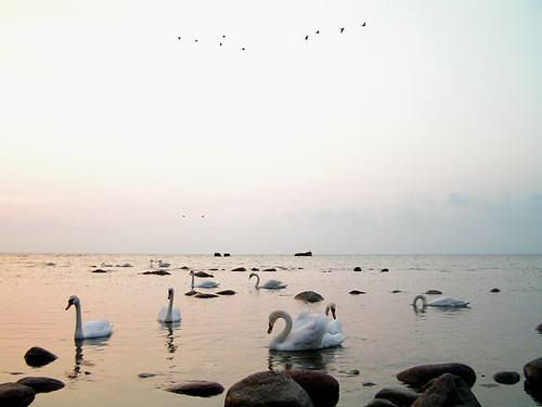 morning sea bird water sunrise swan russia 2006 baltic kaliningrad pionersk zaostrovje