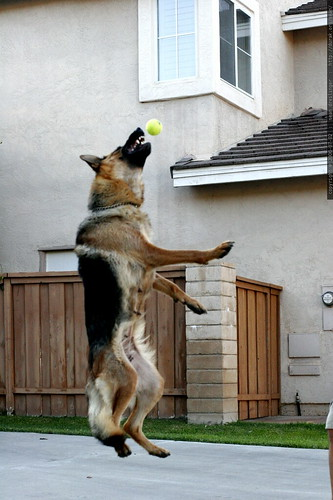 jack's flying dog catches a tennis ball    MG 8252