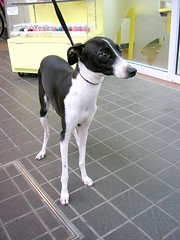 dog sports(0.0), animal sports(0.0), sports(0.0), dog breed(1.0), animal(1.0), hound(1.0), dog(1.0), brazilian terrier(1.0), whippet(1.0), pet(1.0), italian greyhound(1.0), greyhound(1.0), toy fox terrier(1.0), carnivoran(1.0), terrier(1.0),