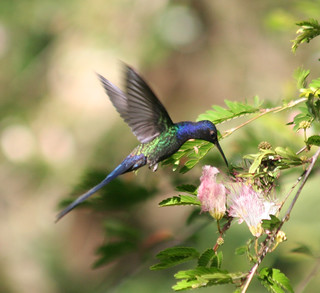 Beija-flor Tesoura (Eupetomena macroura) - Swallow-tailed Hummingbird 8 479 - 10