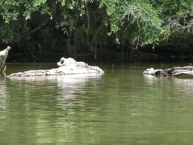 Gator Sighting on Hillsborough River