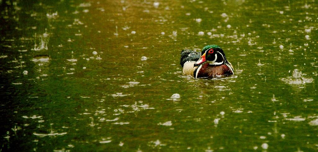 Duck_2