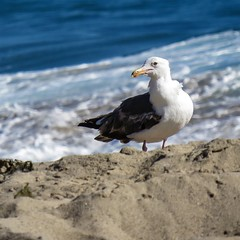 A seagull on the beach in Malibu. #malibu #pacificocean #seagulls