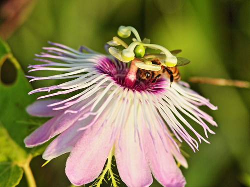 Bee in Passion Flower 20150722