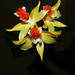 Dendrobium schrautii species orchid, new to the collection  5-15 by nolehace