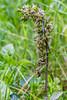 Violet Helleborine Orchid (Epipactis purpurata) by BiteYourBum.Com Photography