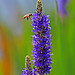 Bee and Pickerel blossoms by zgrial