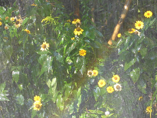 Staudensonnenblumen mit Regenbogen