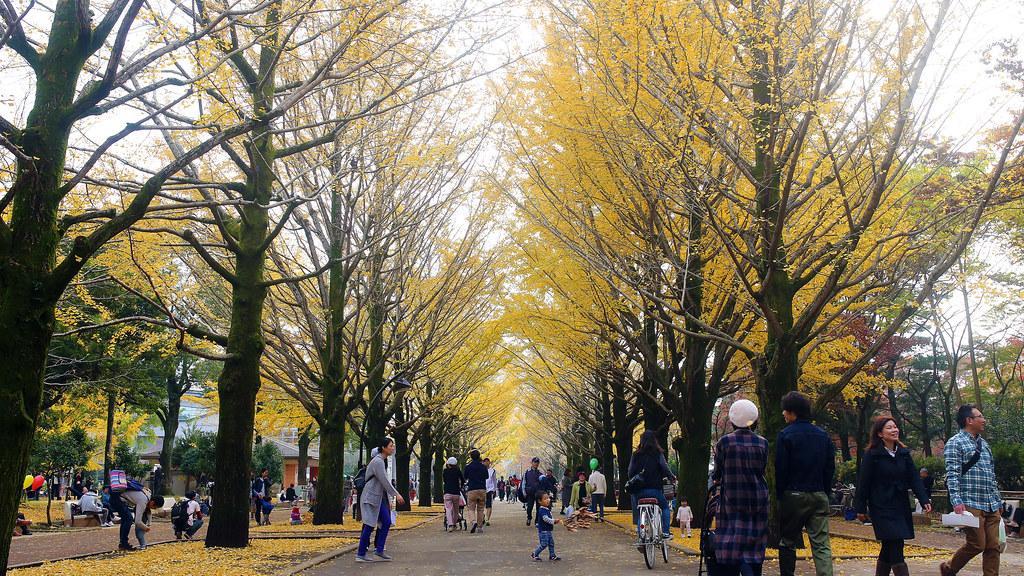 光が丘 Tokyo, Japan / Sigma 35mm / Canon 6D 光丘公園一進來後兩旁的大道都是銀杏樹,樹上的快掉光的,但是滿地都是落下的銀杏葉。  鏡頭沒辦法把我看到的全部拍下來,這裡真的很美!  Canon 6D Sigma 35mm F1.4 DG HSM Art IMG_9137_16x9 2016/11/20  Photo by Toomore