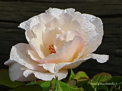 rose flower rain nature