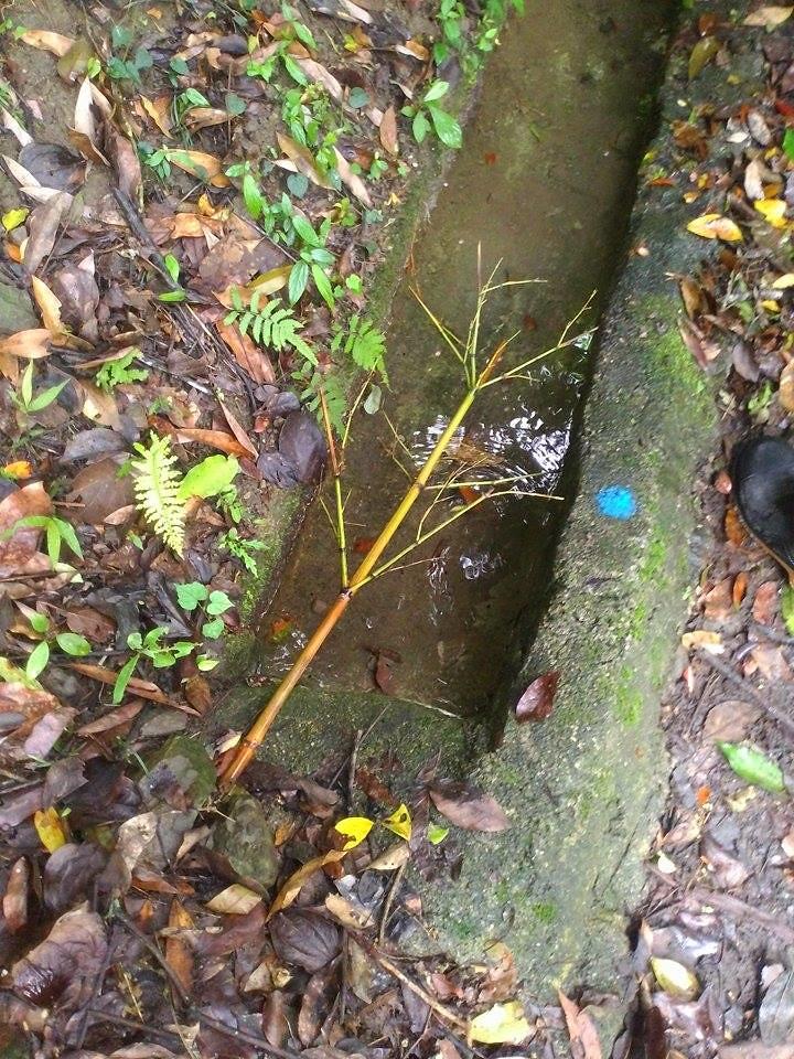 用細竹子擋住圳道中的枯枝落葉,以防堵塞