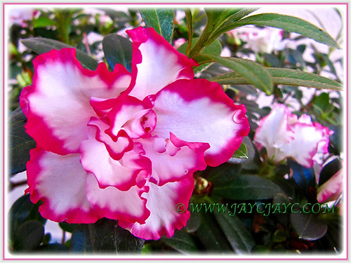 Beautiful frilly pink and white Azalea