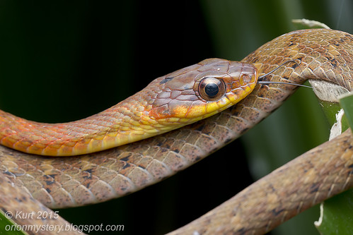 Rhabdophis chrysargos_MG_9998 copy