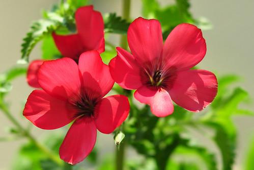 Roter Lein Prachtlein Linum grandiflorum Balkon Balkonien Pflanzen Wildpflanzen Wildblumen Balkonkasten Juni 2015 Foto Brigitte Stolle