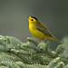 Wilsons-warbler