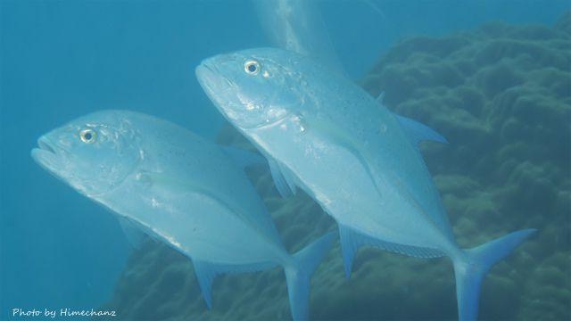 カスミアジとハマフエフキとロウニンアジが小魚狙って10分以上も捕食アタックするシーンに遭遇しました!