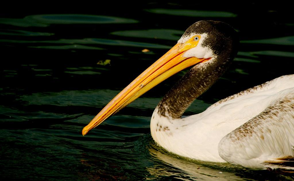 Pelican_4