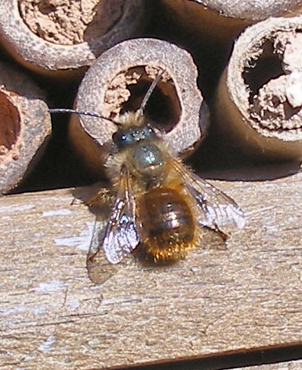 Osmia shiny type