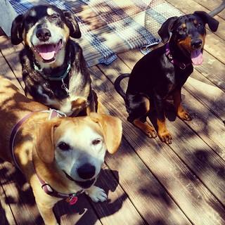 Happy Saturday! #ilovemydogs #lifeisgood #mybabies #dogsofinstagram #instadog #muttsofinstagram #puppygram #instapuppy #rescueddogsofinstagram #houndmix #coonhoundmix #seniordog #dobermanpuppy #dobermanmix