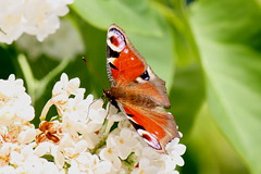 Butterflies and moths of Denmark
