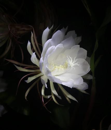 9 O Clock Flower