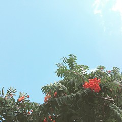 Rowan berries and blue sky